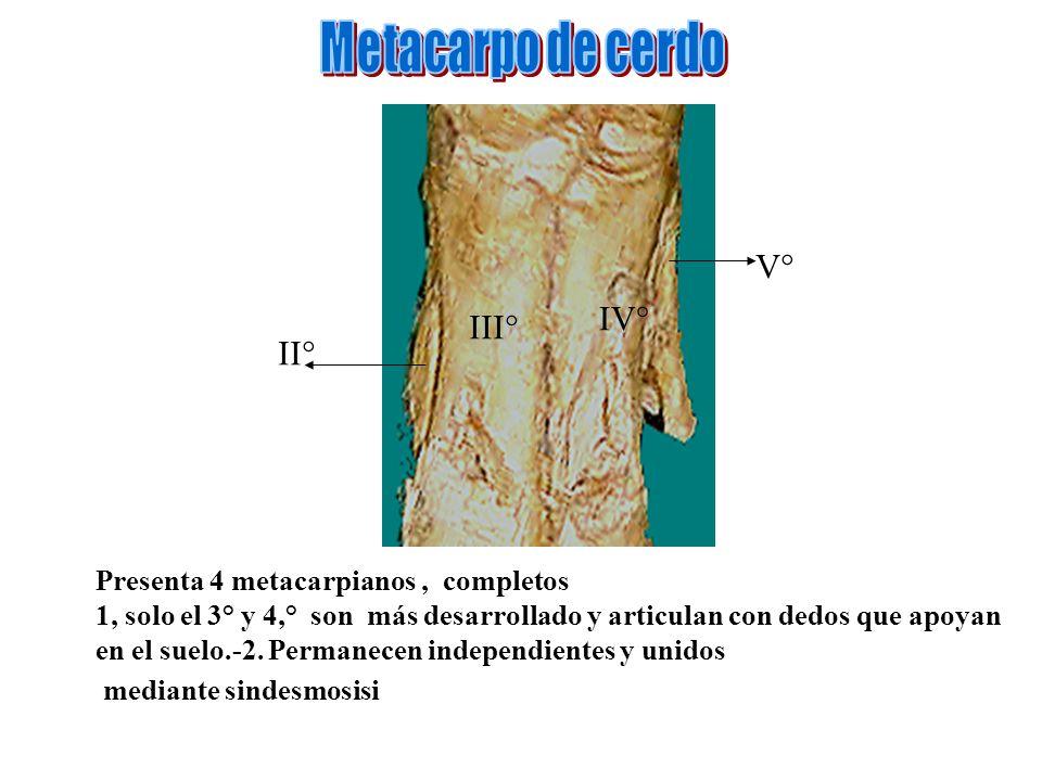 Presenta 4 metacarpianos, completos 1, solo el 3° y 4,° son más desarrollado y articulan con dedos que apoyan en el suelo.-2. Permanecen independiente