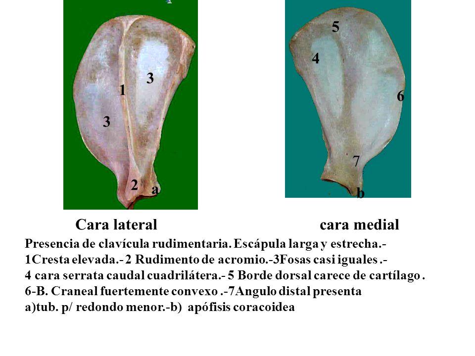 Cara lateral cara medial Presencia de clavícula rudimentaria. Escápula larga y estrecha.- 1Cresta elevada.- 2 Rudimento de acromio.-3Fosas casi iguale