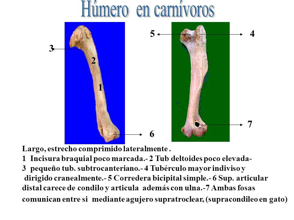 Largo, estrecho comprimido lateralmente. 1 Incisura braquial poco marcada.- 2 Tub deltoides poco elevada- 3 pequeño tub. subtrocanteriano.- 4 Tubércul