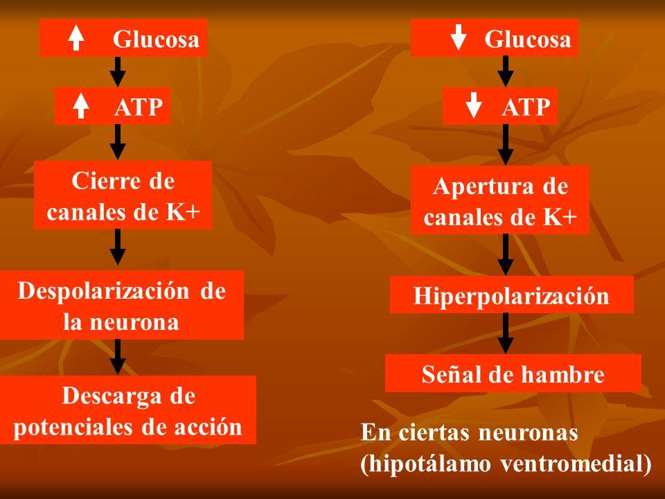 ATP Cierre de canales de K+ Despolarización de la neurona Glucosa Descarga de potenciales de acción Glucosa ATP Apertura de canales de K+ Hiperpolariz