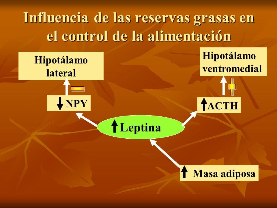 Influencia de las reservas grasas en el control de la alimentación Masa adiposa Leptina ACTH Hipotálamo ventromedial NPY Hipotálamo lateral
