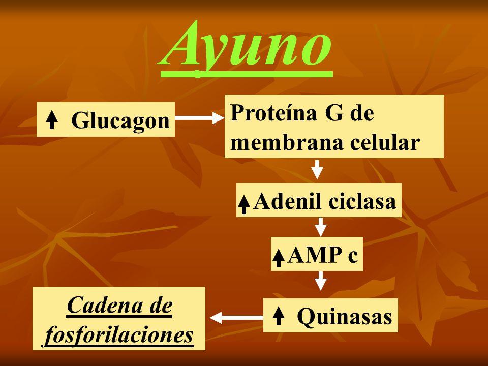 Ayuno Glucagon Proteína G de membrana celular Adenil ciclasa AMP c Quinasas Cadena de fosforilaciones