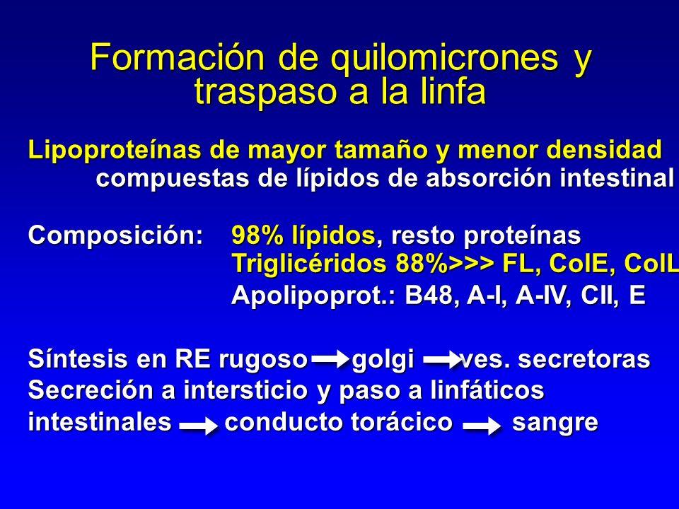 Formación de quilomicrones y traspaso a la linfa Lipoproteínas de mayor tamaño y menor densidad compuestas de lípidos de absorción intestinal Composición:98% lípidos, resto proteínas Triglicéridos 88%>>> FL, ColE, ColL Apolipoprot.: B48, A-I, A-IV, CII, E Síntesis en RE rugoso golgi ves.