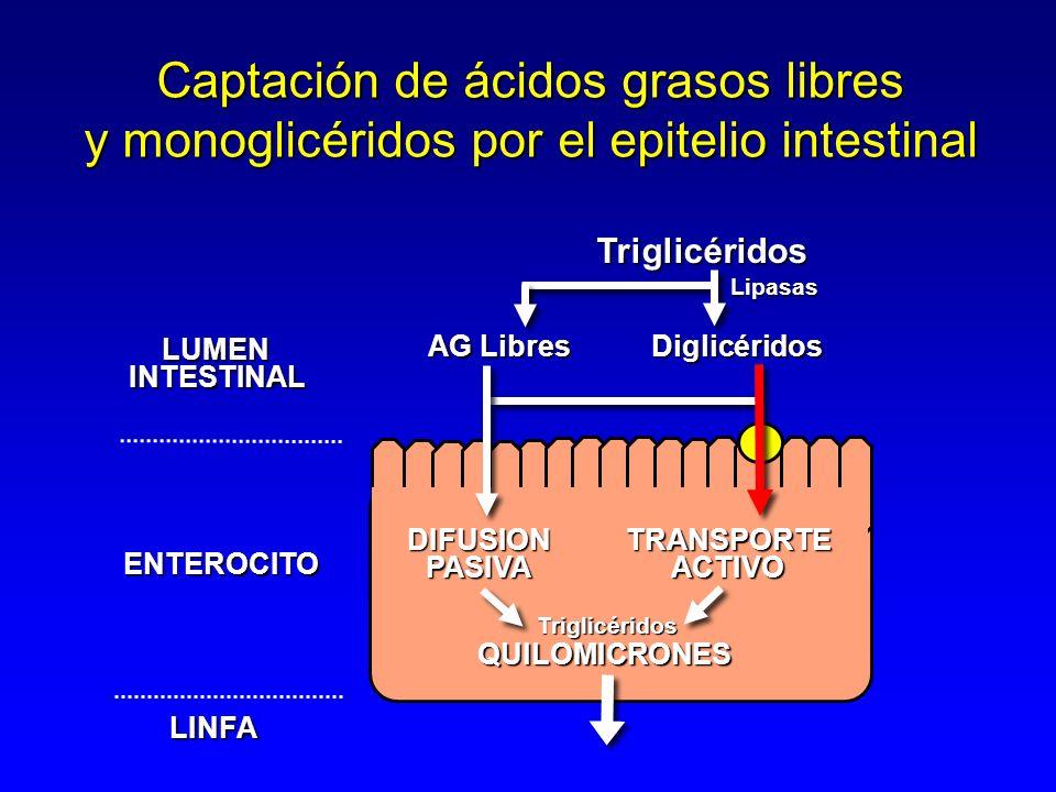 Triglicéridos Diglicéridos Lipasas AG Libres LUMENINTESTINAL ENTEROCITO LINFA Captación de ácidos grasos libres y monoglicéridos por el epitelio intestinal DIFUSIONPASIVATRANSPORTEACTIVO QUILOMICRONES Triglicéridos
