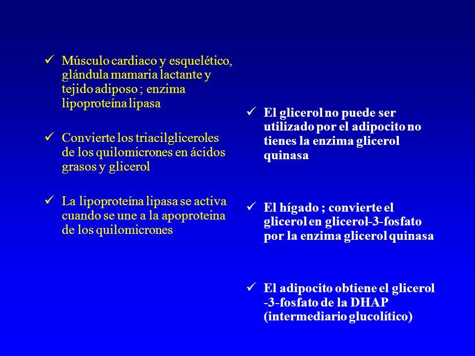 Músculo cardiaco y esquelético, glándula mamaria lactante y tejido adiposo ; enzima lipoproteína lipasa Convierte los triacilgliceroles de los quilomicrones en ácidos grasos y glicerol La lipoproteína lipasa se activa cuando se une a la apoproteina de los quilomicrones El glicerol no puede ser utilizado por el adipocito no tienes la enzima glicerol quinasa El hígado ; convierte el glicerol en glicerol-3-fosfato por la enzima glicerol quinasa El adipocito obtiene el glicerol -3-fosfato de la DHAP (intermediario glucolítico)