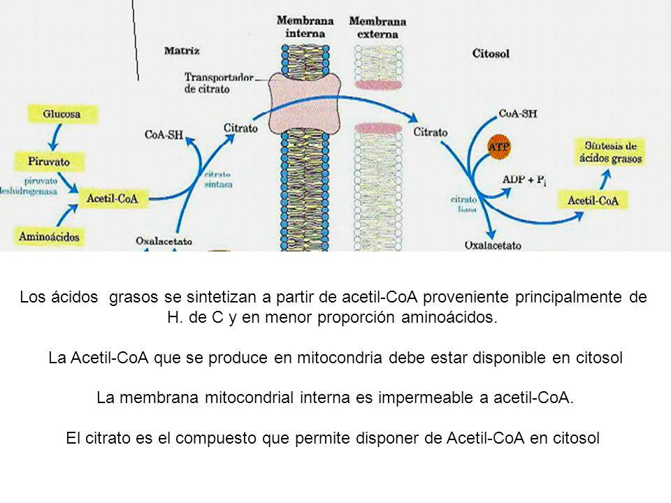 Los ácidos grasos se sintetizan a partir de acetil-CoA proveniente principalmente de H.