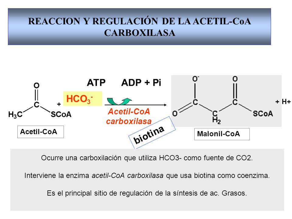 REACCION Y REGULACIÓN DE LA ACETIL-CoA CARBOXILASA Acetil-CoA Acetil-CoA carboxilasa Malonil-CoA + + H+ Acetil-CoA carboxilasa biotina Dímero Forma filamentosa Citrato Inactiva Activa Ac.G.