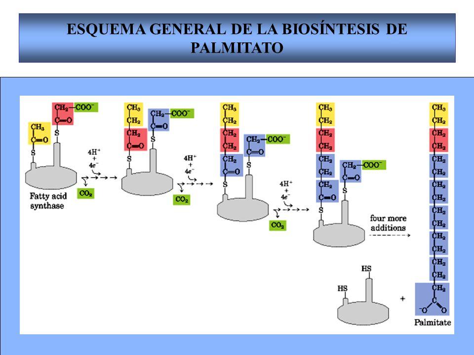 22 ESQUEMA GENERAL DE LA BIOSÍNTESIS DE PALMITATO
