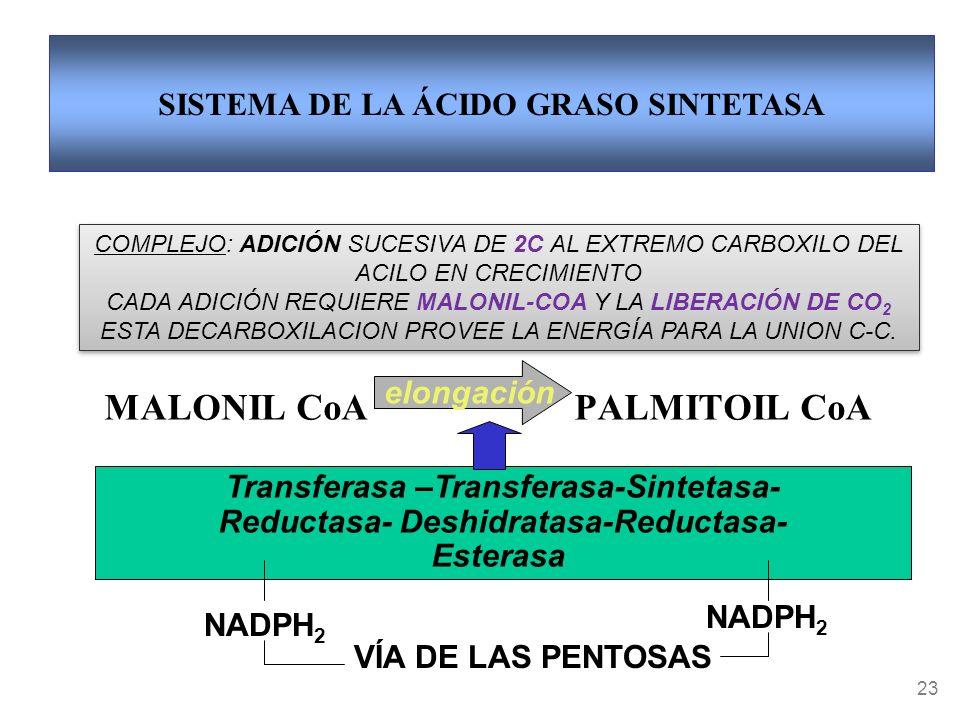 MALONIL CoA PALMITOIL CoA 23 Transferasa –Transferasa-Sintetasa- Reductasa- Deshidratasa-Reductasa- Esterasa NADPH 2 VÍA DE LAS PENTOSAS elongación SISTEMA DE LA ÁCIDO GRASO SINTETASA COMPLEJO: ADICIÓN SUCESIVA DE 2C AL EXTREMO CARBOXILO DEL ACILO EN CRECIMIENTO CADA ADICIÓN REQUIERE MALONIL-COA Y LA LIBERACIÓN DE CO 2 ESTA DECARBOXILACION PROVEE LA ENERGÍA PARA LA UNION C-C.