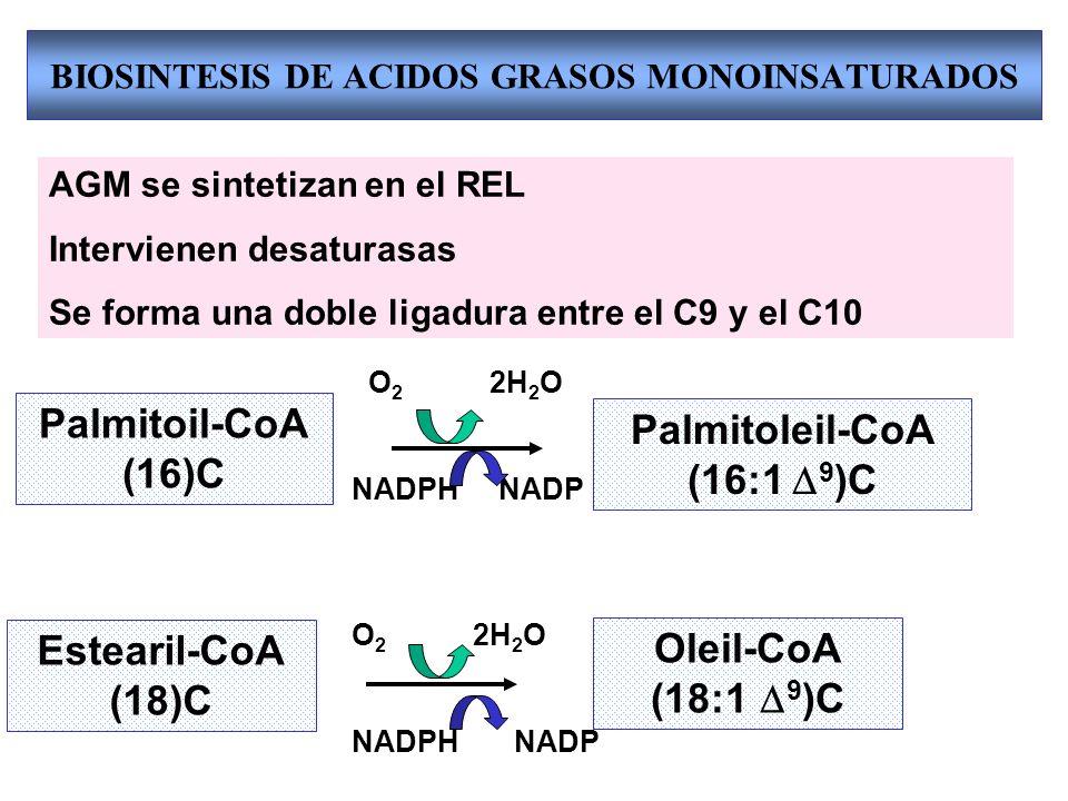 BIOSINTESIS DE ACIDOS GRASOS MONOINSATURADOS Estearil-CoA (18)C Oleil-CoA (18:1 9 )C Palmitoil-CoA (16)C Palmitoleil-CoA (16:1 9 )C AGM se sintetizan en el REL Intervienen desaturasas Se forma una doble ligadura entre el C9 y el C10 O 2 2H 2 O NADPH NADP O 2 2H 2 O NADPH NADP