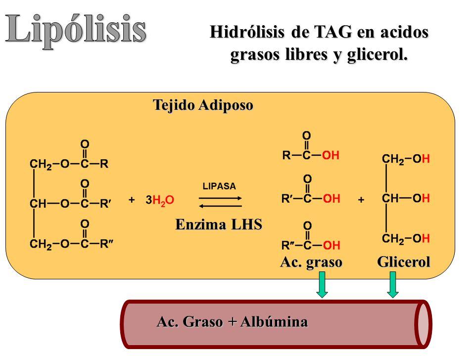 Hidrólisis de TAG en acidos grasos libres y glicerol.