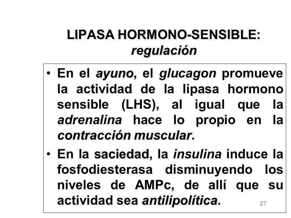 LIPASA HORMONO-SENSIBLE: regulación ayuno contracción muscularEn el ayuno, el glucagon promueve la actividad de la lipasa hormono sensible (LHS), al igual que la adrenalina hace lo propio en la contracción muscular.