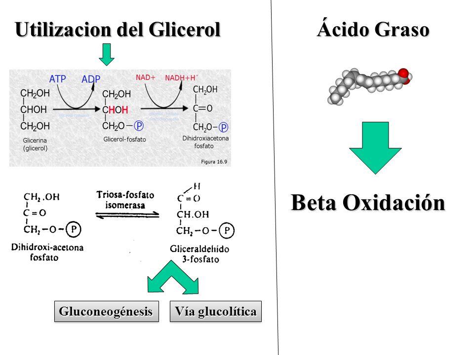 Utilizacion del Glicerol Ácido Graso Vía glucolítica GluconeogénesisGluconeogénesis Beta Oxidación