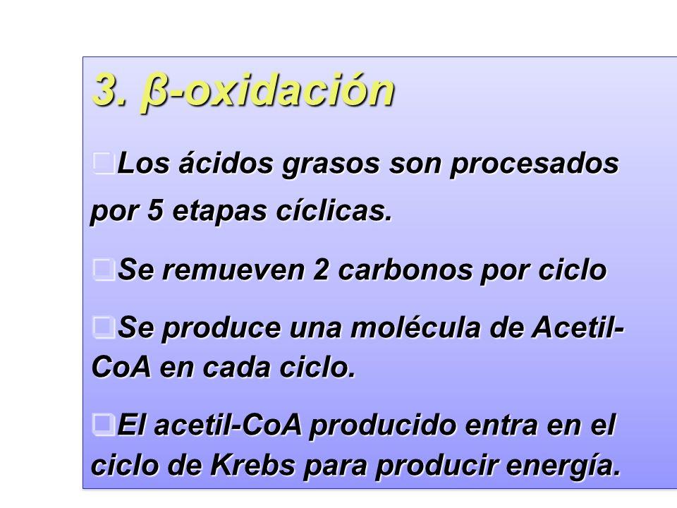 34 3.β-oxidación Los ácidos grasos son procesados por 5 etapas cíclicas.