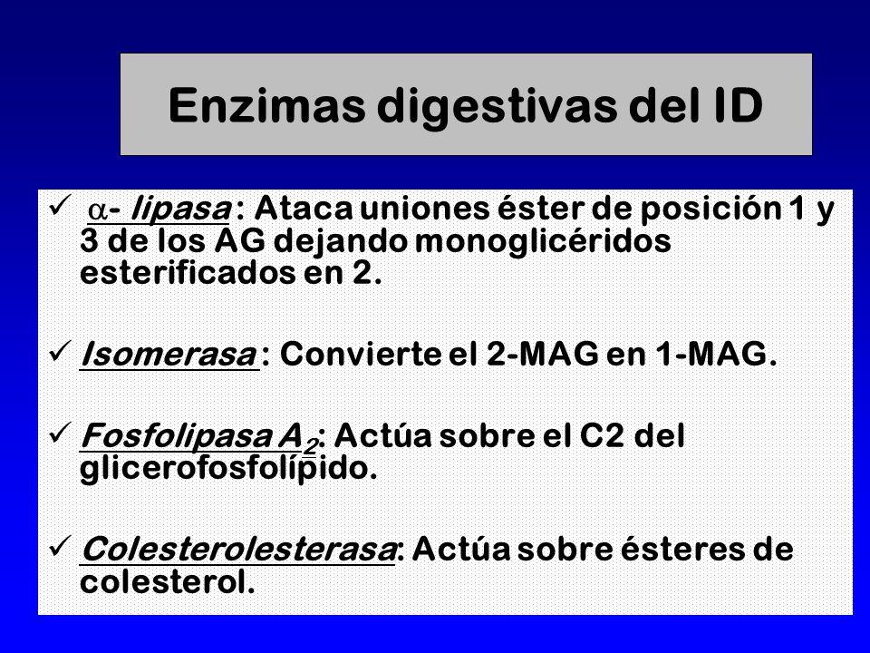 Enzimas digestivas del ID - lipasa : Ataca uniones éster de posición 1 y 3 de los AG dejando monoglicéridos esterificados en 2.