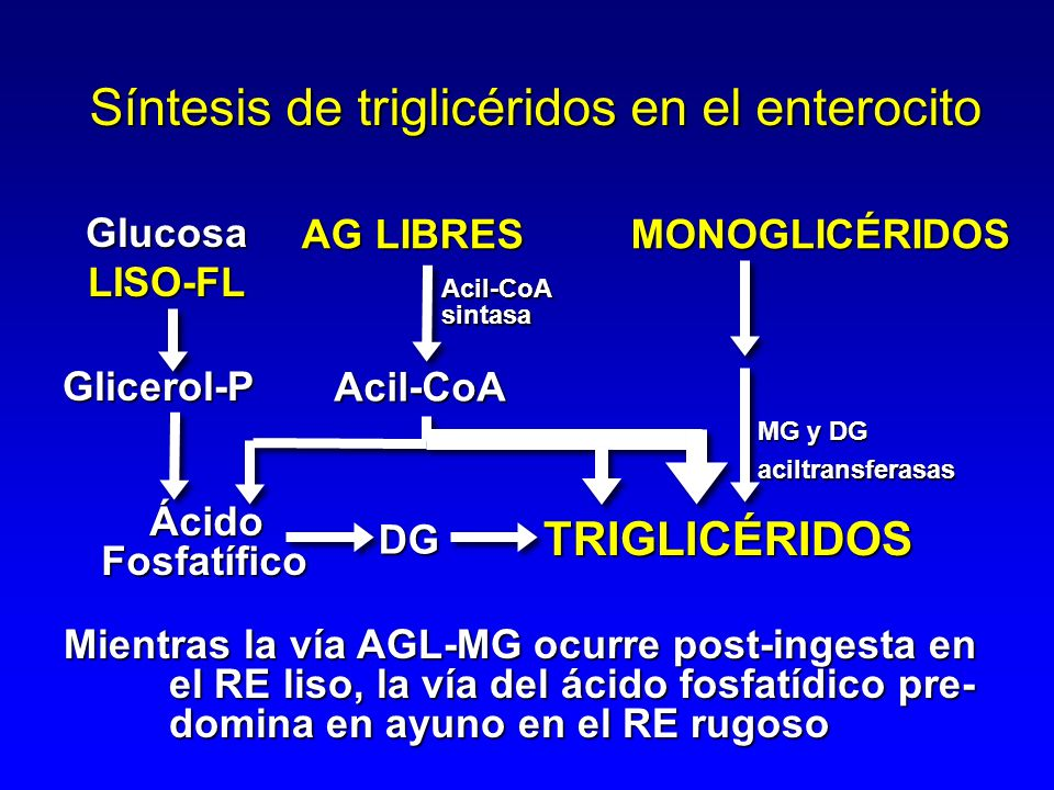 Síntesis de triglicéridos en el enterocito AG LIBRES MONOGLICÉRIDOS AG LIBRES MONOGLICÉRIDOS Acil-CoA MG y DG aciltransferasas Glicerol-P ÁcidoFosfatífico DG TRIGLICÉRIDOS Acil-CoAsintasa Mientras la vía AGL-MG ocurre post-ingesta en el RE liso, la vía del ácido fosfatídico pre- domina en ayuno en el RE rugoso GlucosaLISO-FL