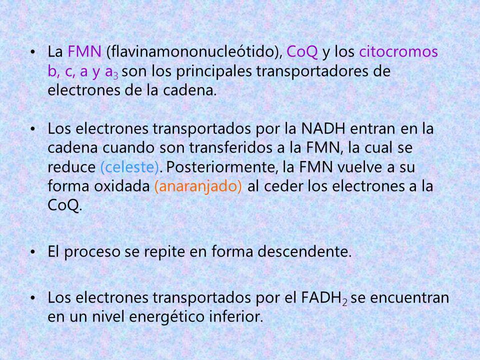 La FMN (flavinamononucleótido), CoQ y los citocromos b, c, a y a 3 son los principales transportadores de electrones de la cadena. Los electrones tran