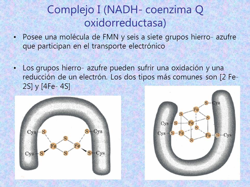 Complejo I (NADH- coenzima Q oxidorreductasa) Posee una molécula de FMN y seis a siete grupos hierro- azufre que participan en el transporte electróni