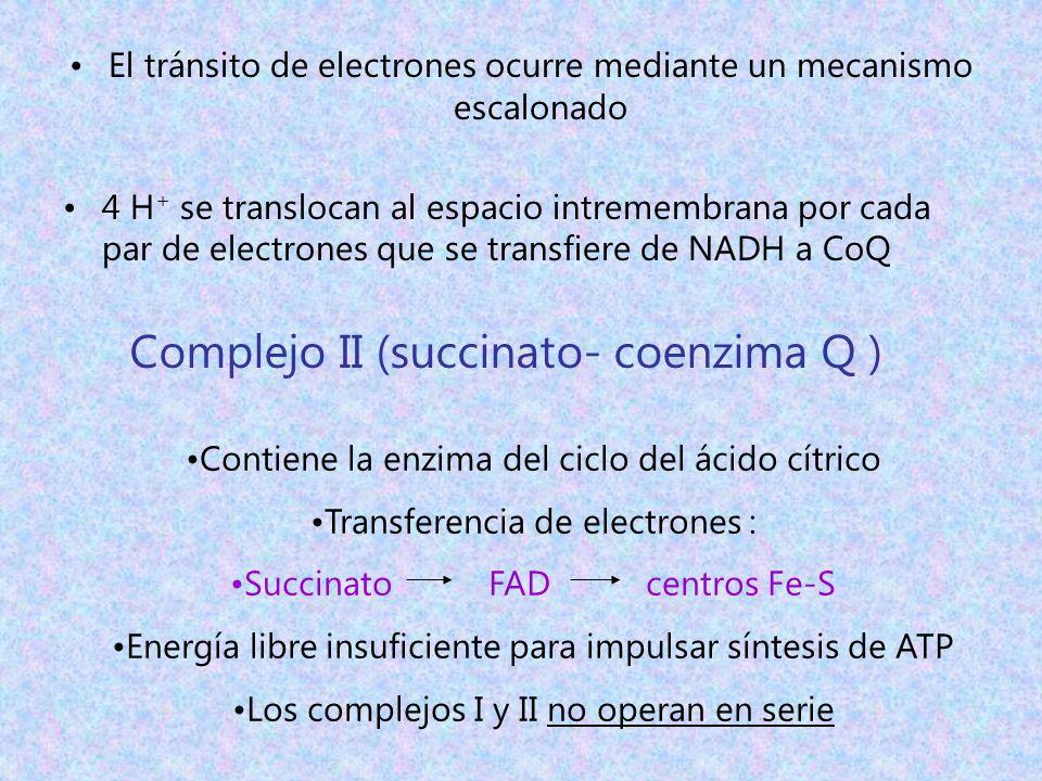 El tránsito de electrones ocurre mediante un mecanismo escalonado 4 H + se translocan al espacio intremembrana por cada par de electrones que se trans