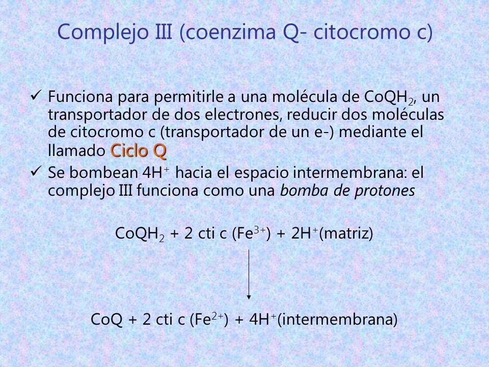 Complejo III (coenzima Q- citocromo c) Ciclo Q Funciona para permitirle a una molécula de CoQH 2, un transportador de dos electrones, reducir dos molé