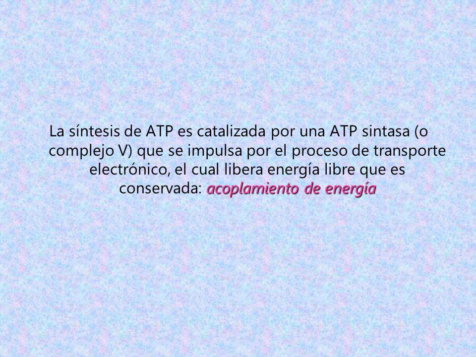 acoplamiento de energía La síntesis de ATP es catalizada por una ATP sintasa (o complejo V) que se impulsa por el proceso de transporte electrónico, e