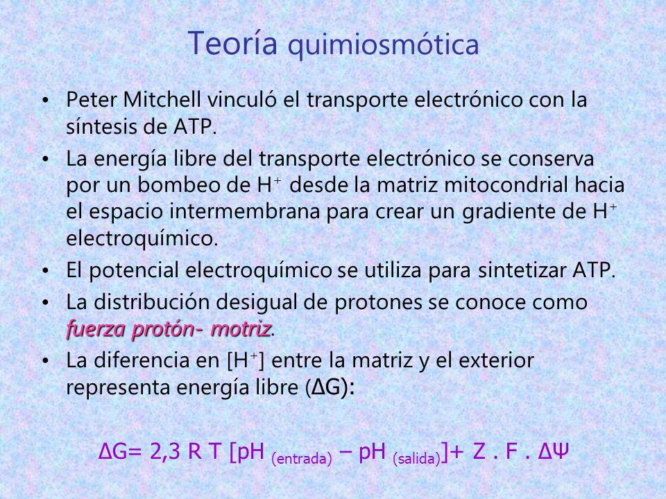 Teoría quimiosmótica Peter Mitchell vinculó el transporte electrónico con la síntesis de ATP. La energía libre del transporte electrónico se conserva