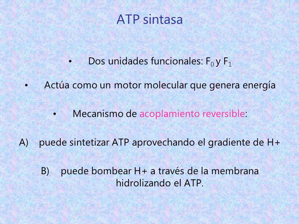 ATP sintasa Dos unidades funcionales: F 0 y F 1 Actúa como un motor molecular que genera energía Mecanismo de acoplamiento reversible: A)puede sinteti