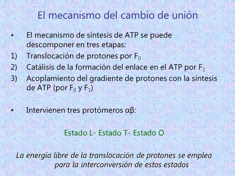 El mecanismo del cambio de unión El mecanismo de síntesis de ATP se puede descomponer en tres etapas: 1)Translocación de protones por F 0 2)Catálisis