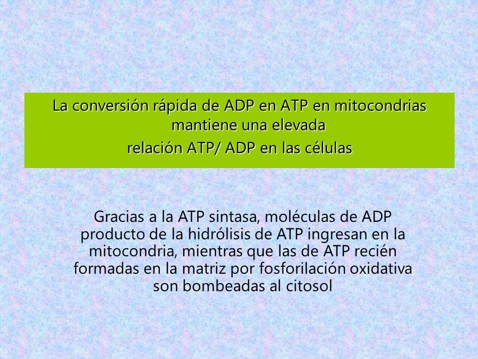 La conversión rápida de ADP en ATP en mitocondrias mantiene una elevada relación ATP/ ADP en las células Gracias a la ATP sintasa, moléculas de ADP pr