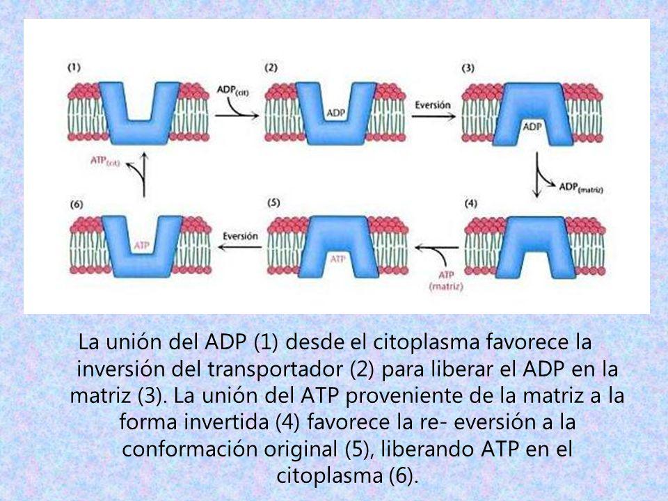 La unión del ADP (1) desde el citoplasma favorece la inversión del transportador (2) para liberar el ADP en la matriz (3). La unión del ATP provenient
