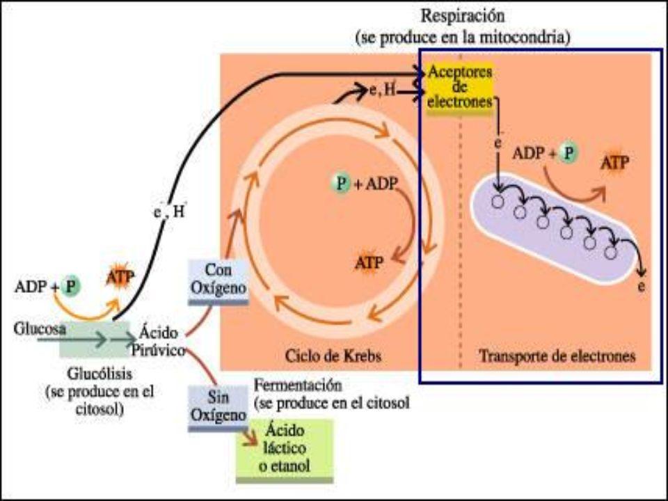 Durante el proceso de transporte de electrones: 1)El NADH y FADH 2 se reoxidan a NAD+ y FAD para poder participar en reacciones de oxidación 2)Los electrones transferidos participan en una secuencia redox en cuatro complejos enzimáticos antes de reducir O 2 a H 2 O 3)Durante la transferencia electrónica, los protones son expulsados de la mitocondria, generando un gradiente.