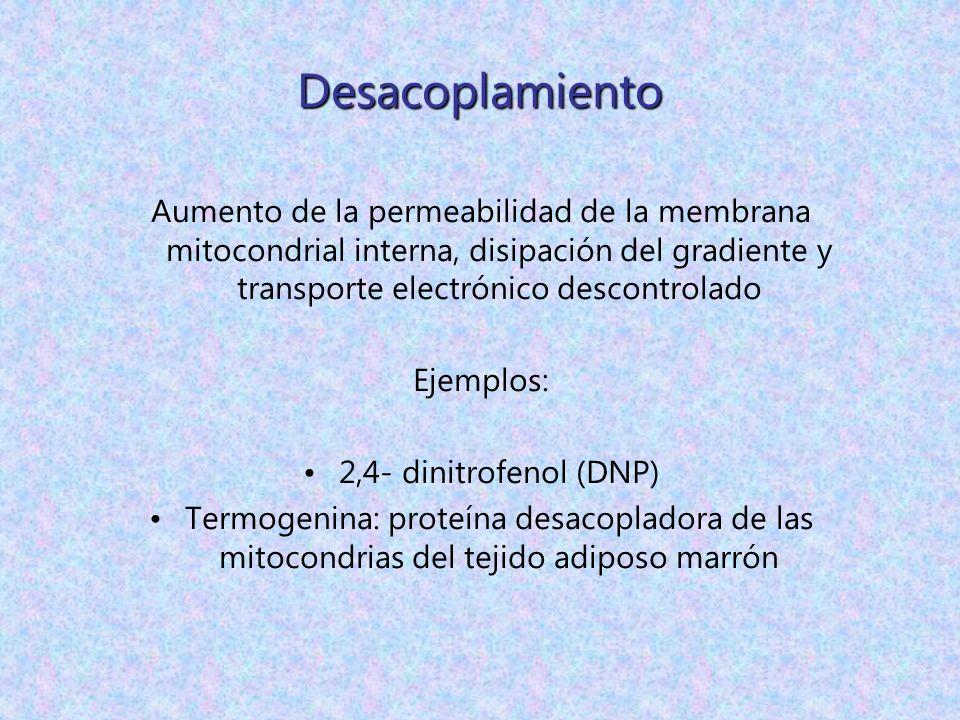 Desacoplamiento Aumento de la permeabilidad de la membrana mitocondrial interna, disipación del gradiente y transporte electrónico descontrolado Ejemp