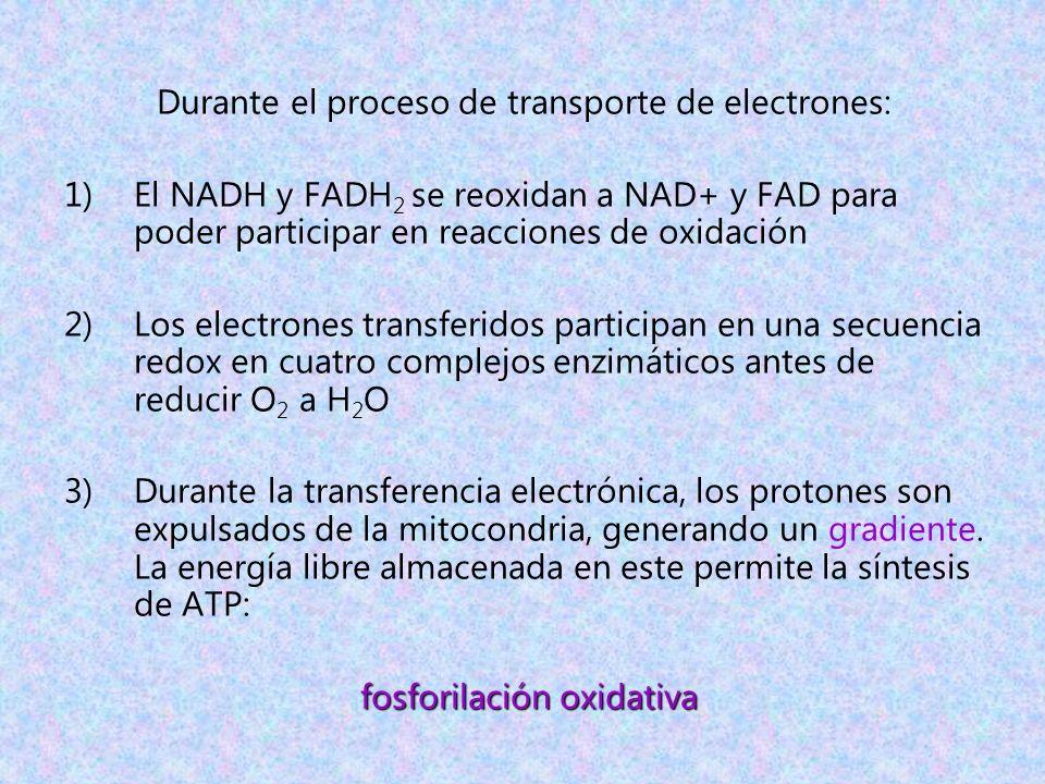 Durante el proceso de transporte de electrones: 1)El NADH y FADH 2 se reoxidan a NAD+ y FAD para poder participar en reacciones de oxidación 2)Los ele