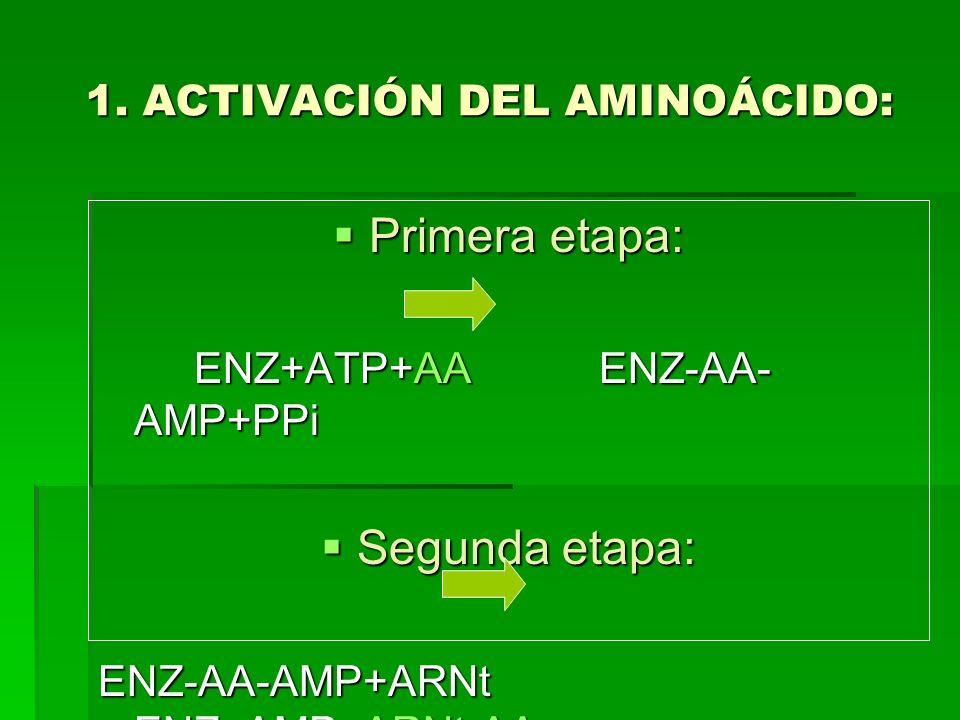 1. ACTIVACIÓN DEL AMINOÁCIDO: Primera etapa: Primera etapa: ENZ+ATP+AA ENZ-AA- AMP+PPi Segunda etapa: Segunda etapa: ENZ-AA-AMP+ARNt ENZ+AMP+ARNt-AA