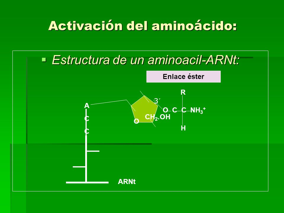 Activaci ó n del amino á cido: Estructura de un aminoacil-ARNt: Estructura de un aminoacil-ARNt: O C C NH 3 + R ACCACC O CH 2.OH H Enlace éster ARNt 3