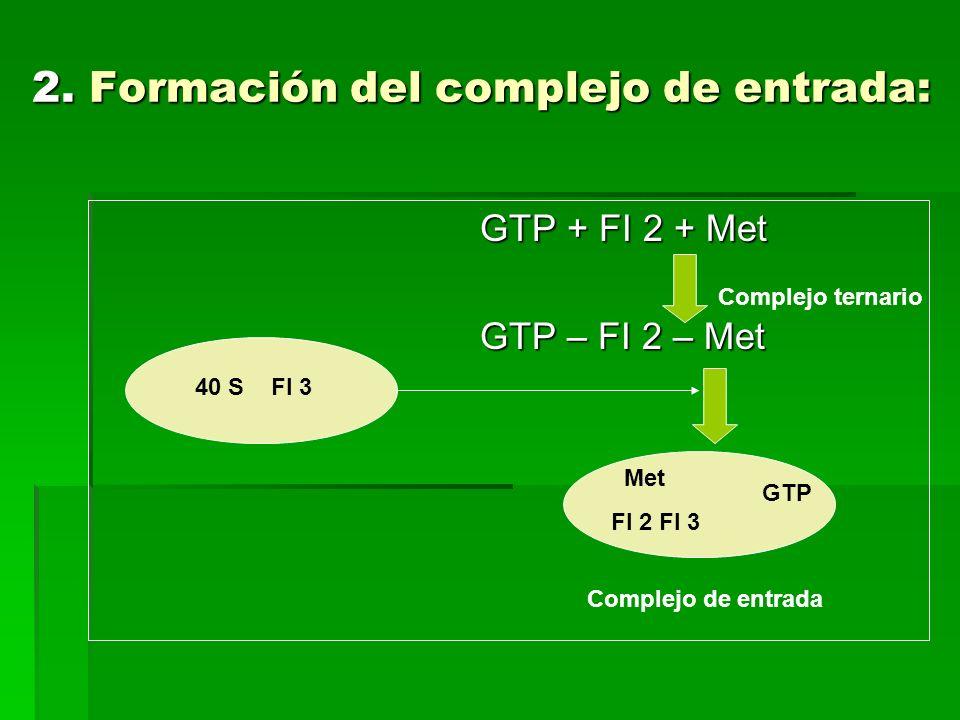 GTP + FI 2 + Met GTP + FI 2 + Met GTP – FI 2 – Met GTP – FI 2 – Met 2. Formación del complejo de entrada: Met FI 2 FI 3 GTP Complejo de entrada 40 S F