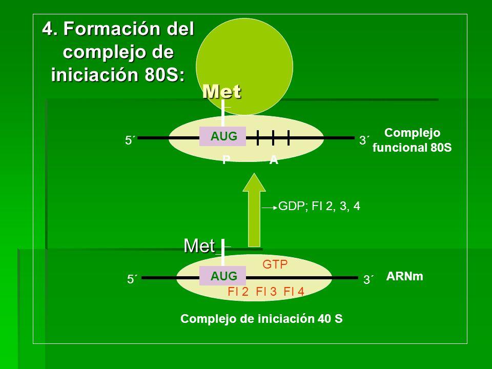 Met Met AUG GTP FI 2 FI 3 FI 4 5´ AUG Met P A GDP; FI 2, 3, 4 Complejo de iniciación 40 S Complejo funcional 80S 3´ ARNm 5´3´ 4. Formación del complej