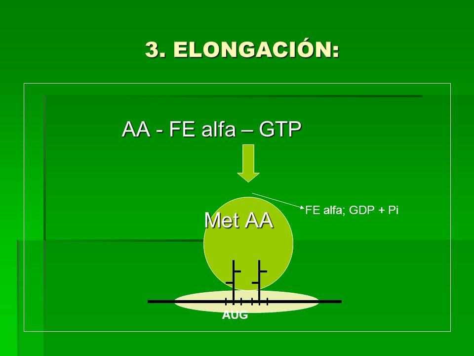 3. ELONGACIÓN: AA - FE alfa – GTP AA - FE alfa – GTP Met AA Met AA AUG FE alfa; GDP + Pi