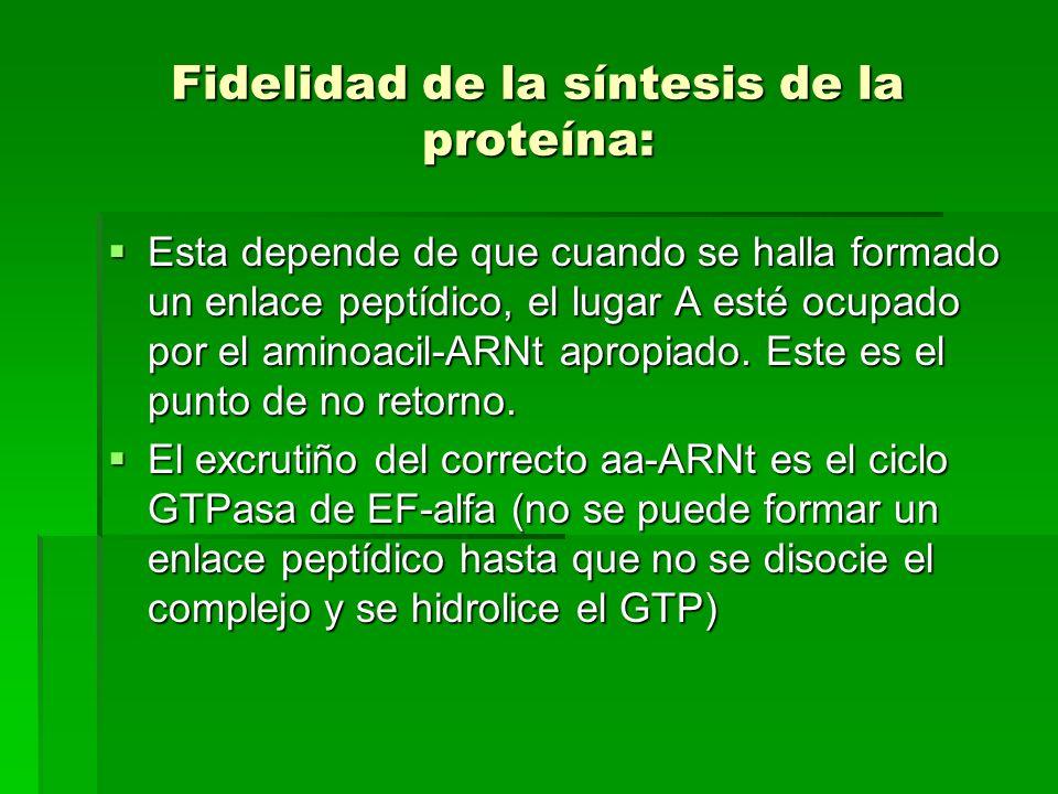 Fidelidad de la síntesis de la proteína: Esta depende de que cuando se halla formado un enlace peptídico, el lugar A esté ocupado por el aminoacil-ARN