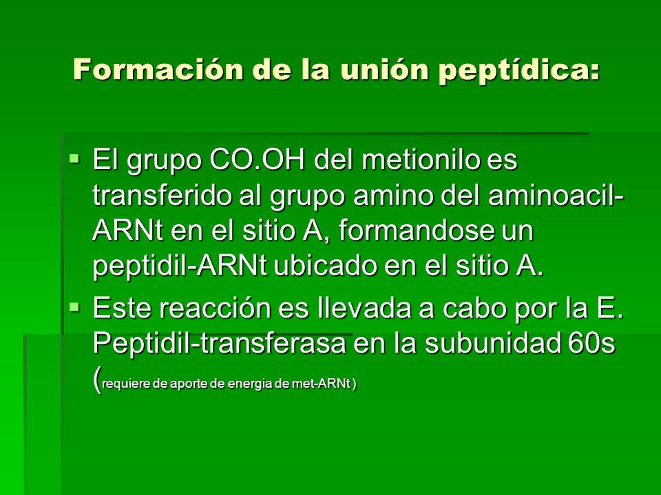 Formación de la unión peptídica: El grupo CO.OH del metionilo es transferido al grupo amino del aminoacil- ARNt en el sitio A, formandose un peptidil-