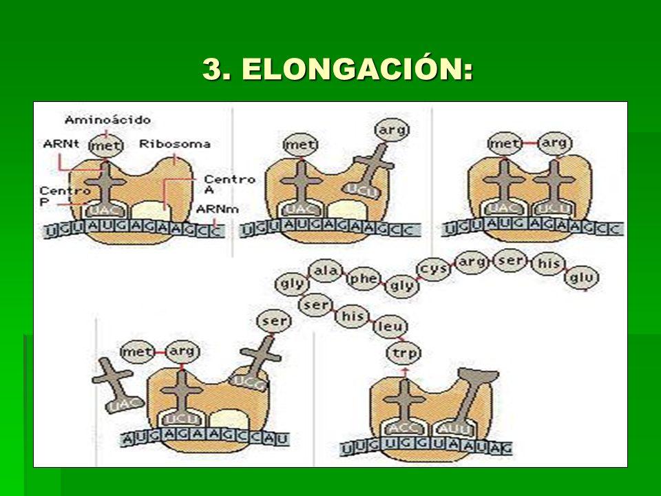 3. ELONGACIÓN: