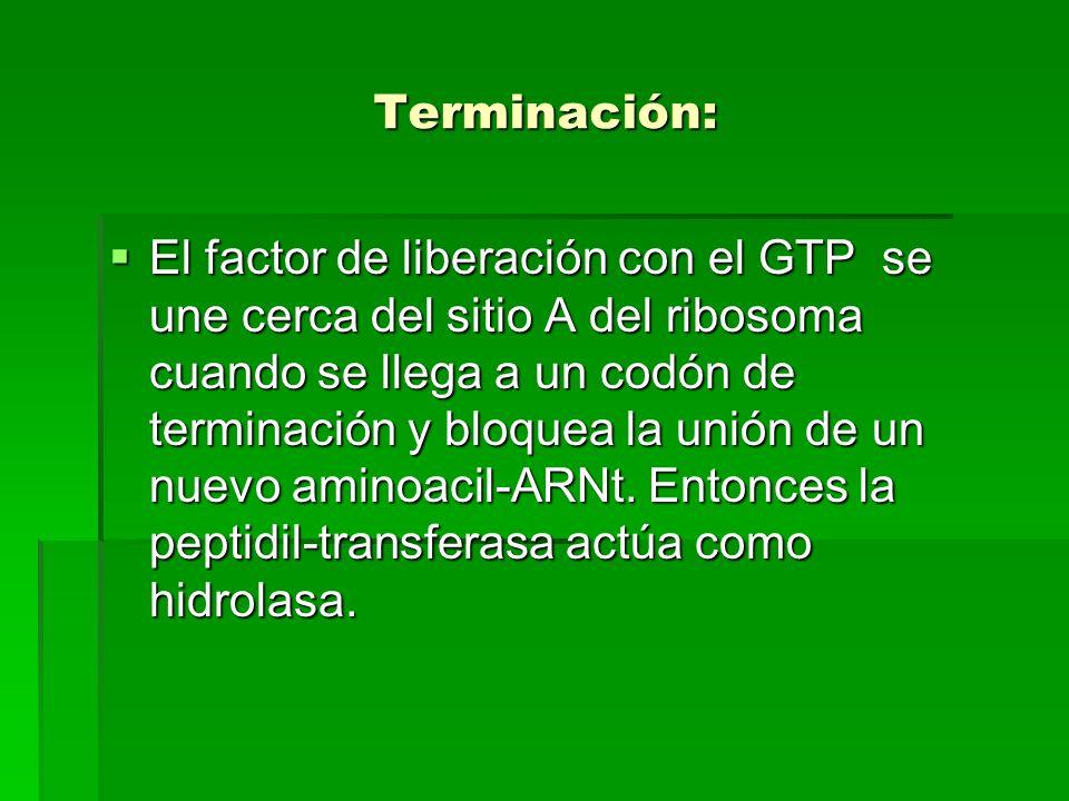 Terminación: El factor de liberación con el GTP se une cerca del sitio A del ribosoma cuando se llega a un codón de terminación y bloquea la unión de