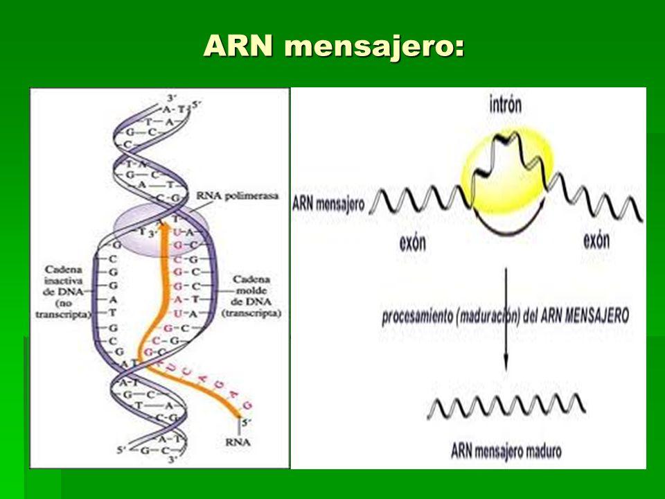 ARN mensajero: