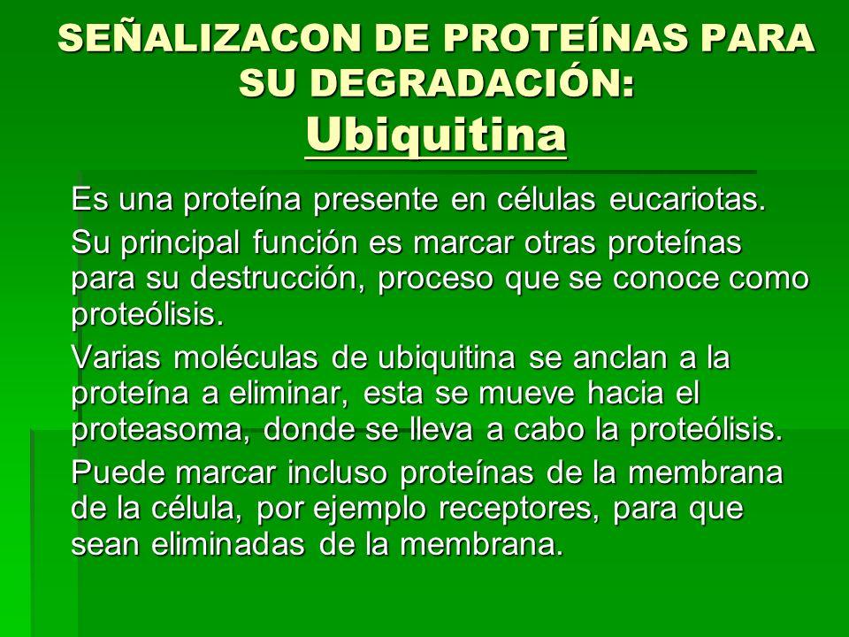 SEÑALIZACON DE PROTEÍNAS PARA SU DEGRADACIÓN: Ubiquitina Es una proteína presente en células eucariotas. Su principal función es marcar otras proteína