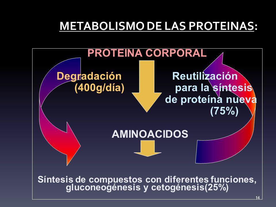 METABOLISMO DE LAS PROTEINAS: PROTEINA CORPORAL Degradación Reutilización (400g/día) para la síntesis de proteína nueva (75%) AMINOACIDOS Síntesis de