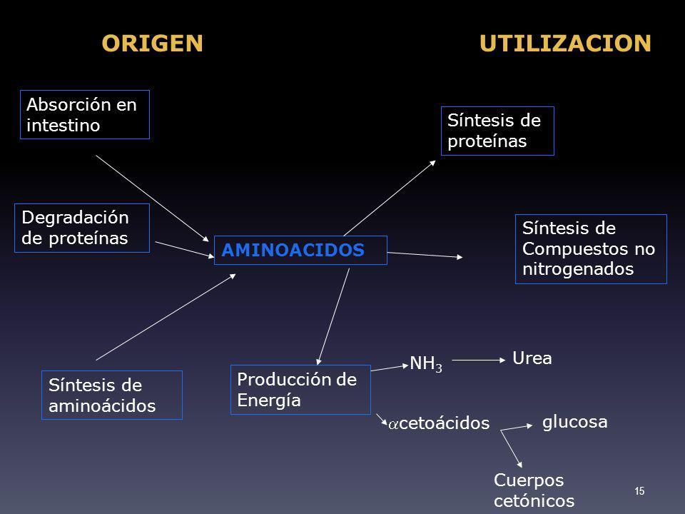 ORIGENUTILIZACION Absorción en intestino Degradación de proteínas Síntesis de aminoácidos Síntesis de proteínas Síntesis de Compuestos no nitrogenados