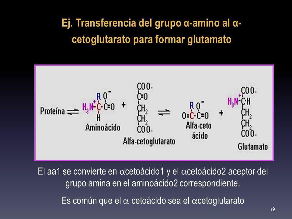 Ej. Transferencia del grupo α-amino al α- cetoglutarato para formar glutamato El aa1 se convierte en cetoácido1 y el cetoácido2 aceptor del grupo amin