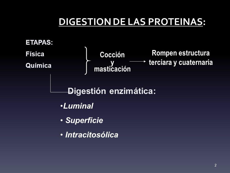 DIGESTION DE LAS PROTEINAS: ETAPAS: Física Química Digestión enzimática: Luminal Superficie Intracitosólica 2 Cocción y masticación Rompen estructura