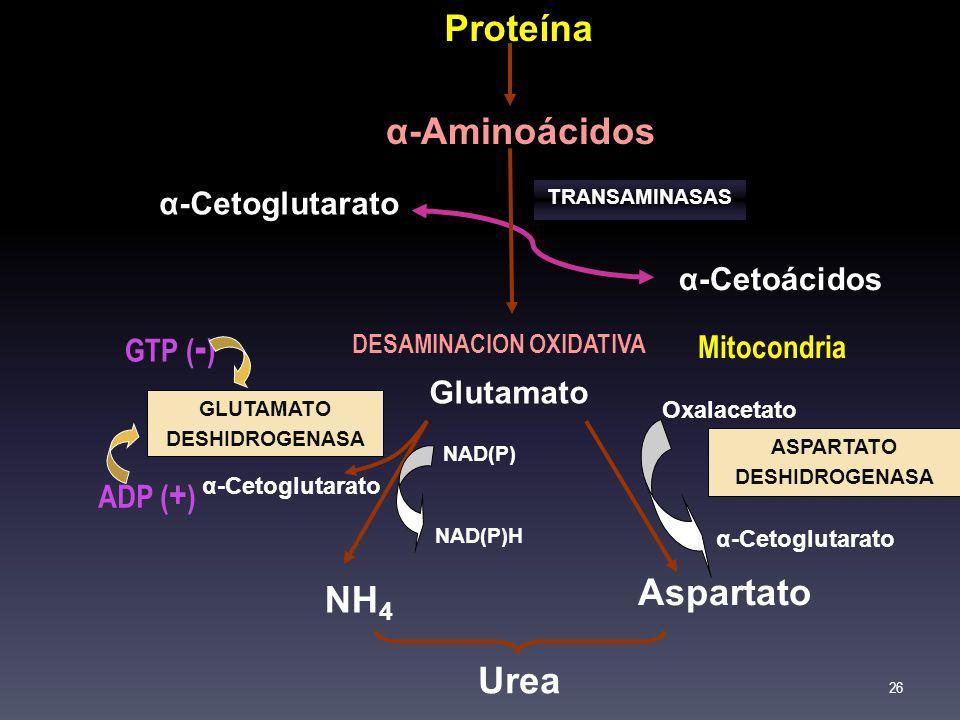 Proteína α-Aminoácidos α-Cetoácidos α-Cetoglutarato Glutamato NH 4 Aspartato Urea Oxalacetato α-Cetoglutarato NAD(P) NAD(P)H α-Cetoglutarato TRANSAMIN