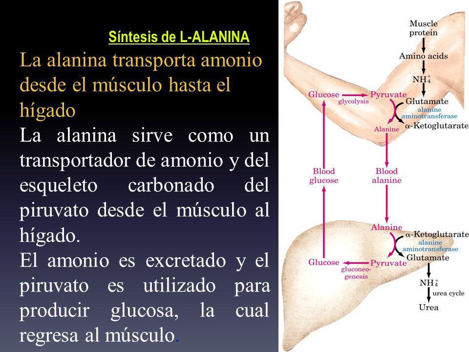 La alanina transporta amonio desde el músculo hasta el hígado La alanina sirve como un transportador de amonio y del esqueleto carbonado del piruvato